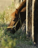 Pony poking his head through paling to graze on the meadow poster