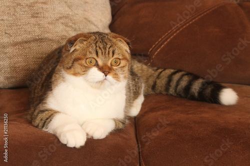 Chat scottish fold allong de face sur canap photo for Canape qui s allonge