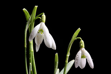 Close-up of wet snow drop flower