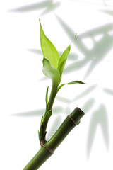 lucky bamboo branch