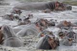 Flußpferde
