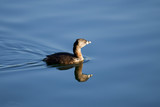 Cute little Pied-billed Grebe duck swimming