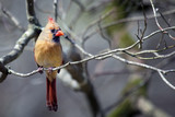 Beautiful Female Northern Cardinal sitting on tree limb