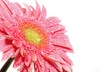 Pink gerbera flower close up on a white background