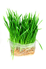 Green grass oats