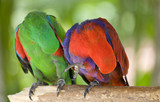 Two parrots scratch wing with beak, focus on right parrot poster