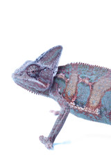 Big chameleon on white background