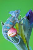 Beautiful big chameleon sitting on a tulip