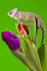 Beautiful big chameleon on green background