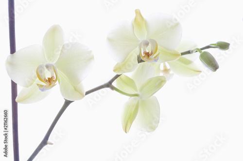 biale-kwiaty-storczyka