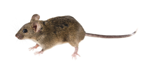 Common house mouse (Mus musculus) side view