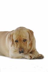 regard soumis et méfiant du labrador marron adulte