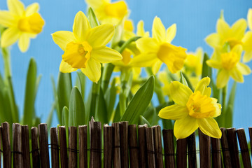 daffodil behind fance on blue background