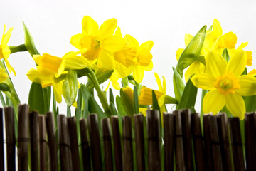 daffodil behind fance on white background