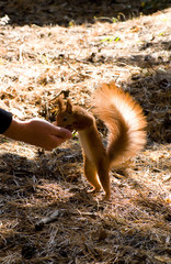 The squirrel taking a nut from a hand