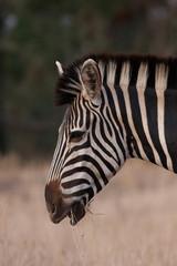 Zebra chew