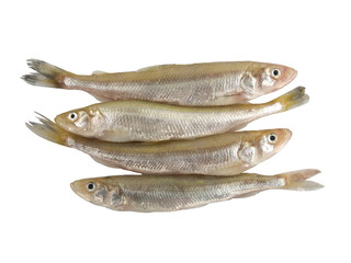 European Smelt Fish (Esmerus Eperlanus). German Stint