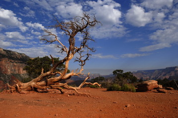Dead tree, Grand canyon