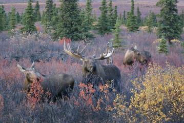 Elche im Denali Nationalpark Alaska