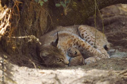 Tuinposter Lynx Luchs mit Jungen