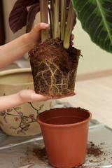 Woman transplants plant