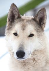Beauty husky dog portrait