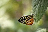 Beautiful orange and yellow butterfly on green leaf