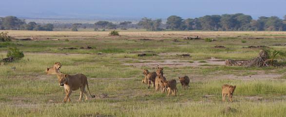 Africa leoni al tramonto