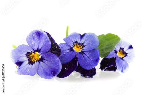 Fotobehang Pansies Blue Pansies
