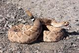 Western Diamondback Rattlesnake (Crotalus atrox) poster