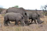 Rhino family with 2 calf,Kruger NP,South Africa