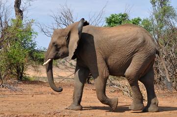 young african savanna elephant