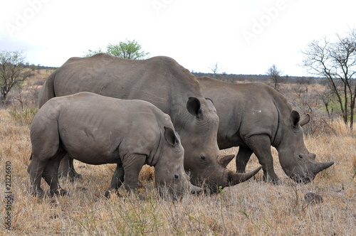 Papiers peints Rhino Rhino family with 2 calf,Kruger NP,South Africa