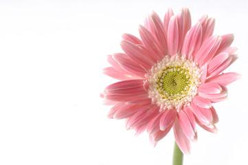 Isolated pink sunflower macro