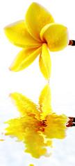 fleur jaune frangipanier, fond blanc