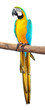 Bright Blue and Yellow macaw isolated