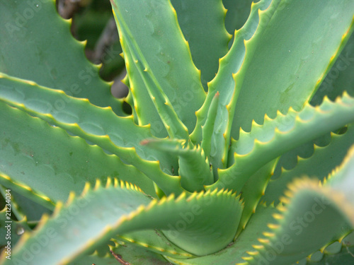aloe vera plante m dicinale stock photo and royalty free images on pic 21234034. Black Bedroom Furniture Sets. Home Design Ideas