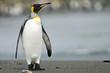 King Penguin Standing on the Beach