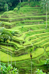 Amazing Rice Terrace field, Ubud, Bali,  Indonesia.