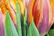 tulpen close up