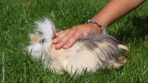 kid patting and playing with Guinea pig