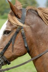 galoppierendes Pferd, Kaltblut