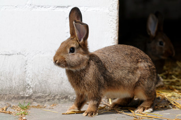 Junger Hase