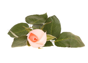 Pink rose,  isolated.