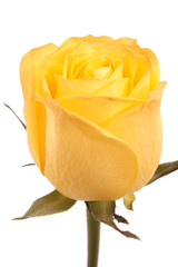 Yellow rose, isolated.