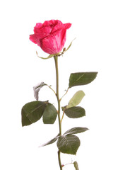 Red rose,isolated.