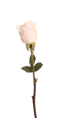 rose, isolated.