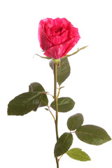 Red rose from a strip, isolated.