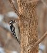 Male Downy Woodpecker, Picoides pubescens