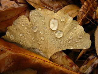 Fallen Ginko Leaf with rain droplets